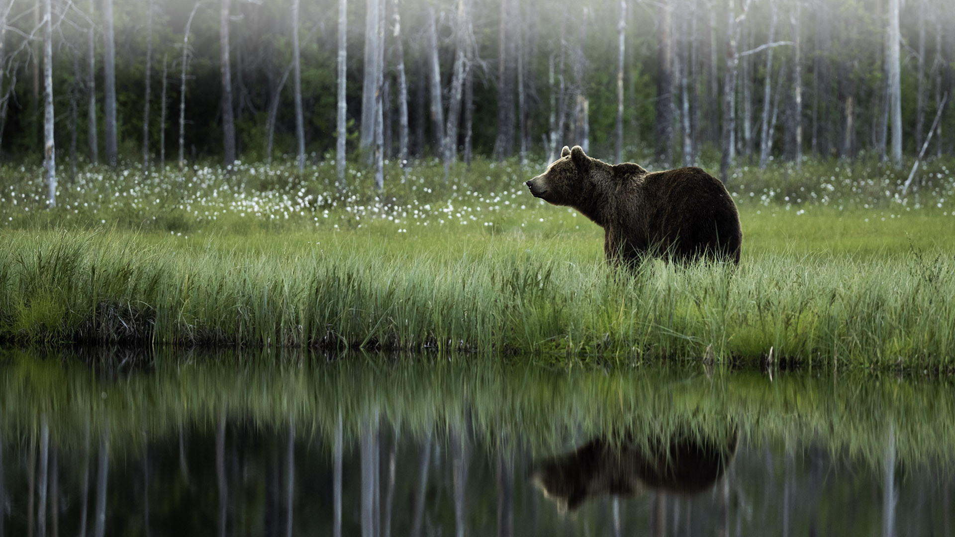 Brown-bear-Front