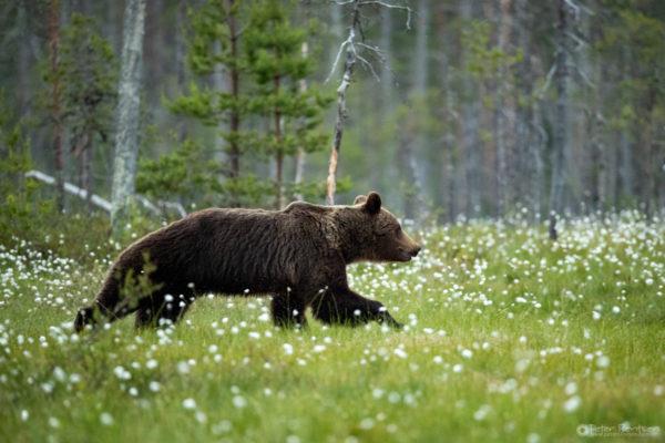 Brownbears-4741
