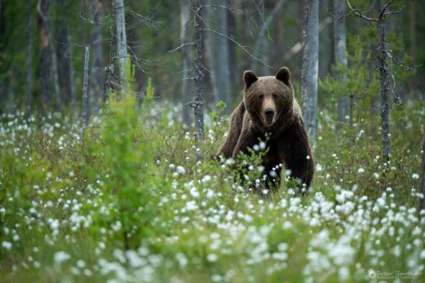 Brownbears-4795