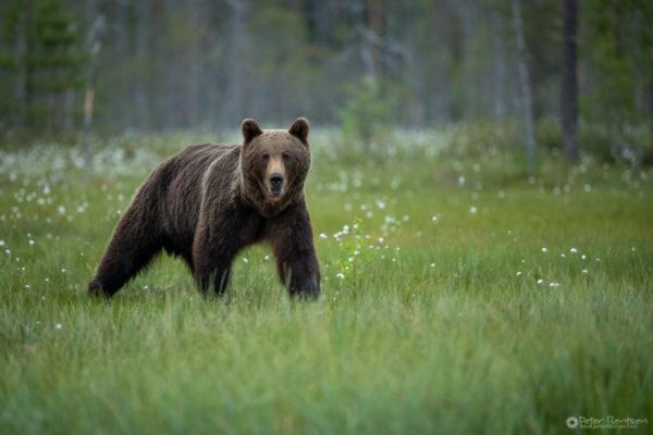 Brownbears-4890