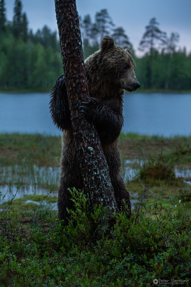 Brownbears-5700