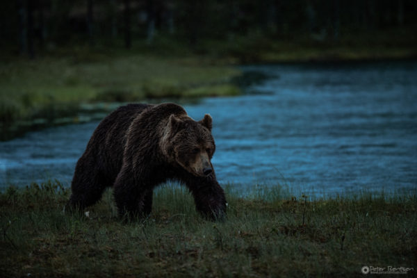 Brownbears-5764