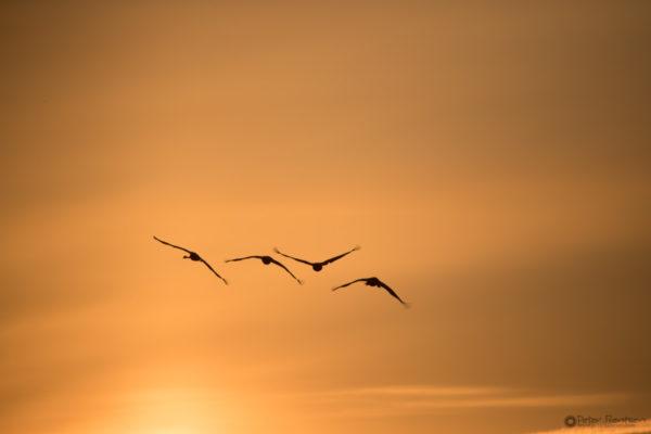Cranes-2018-5643