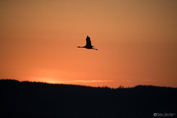 Cranes-2018-6875