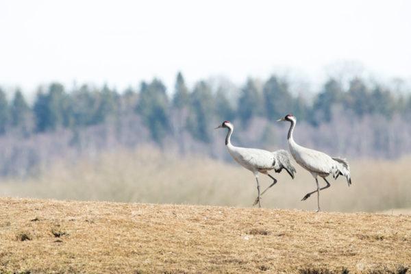 Cranes-2018-7551