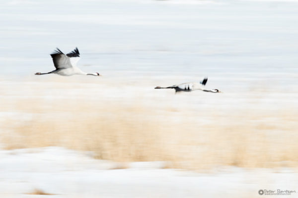 Cranes-2018-7633