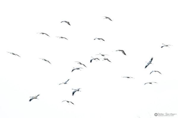 Cranes-2018-7734