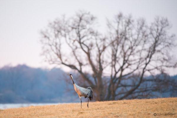 Cranes-2018-7940