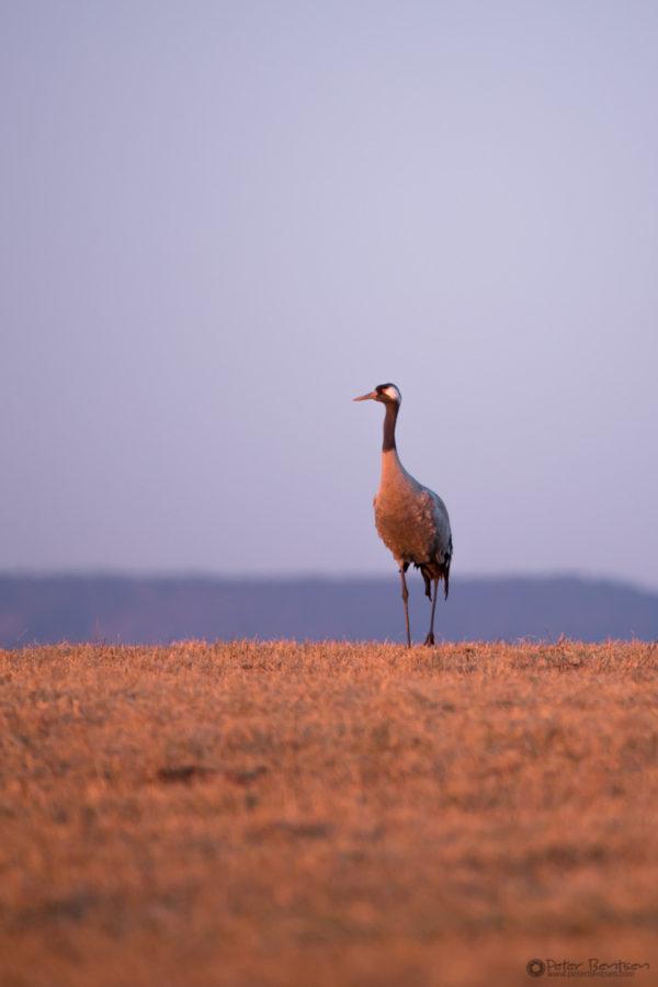 Cranes-2018-7980