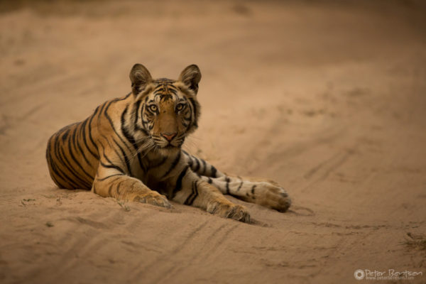 Young male Tiger