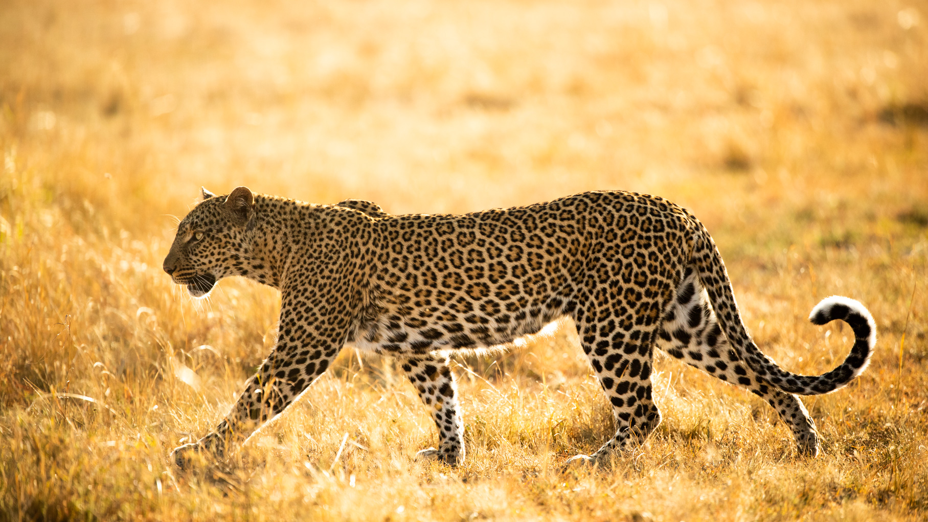 Leopard-kenya2018