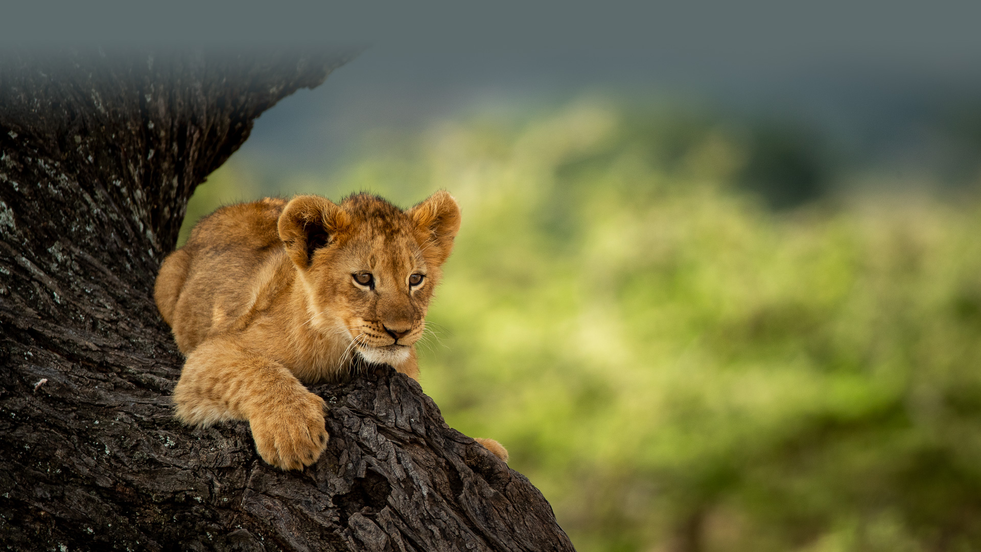 Simba in the tree