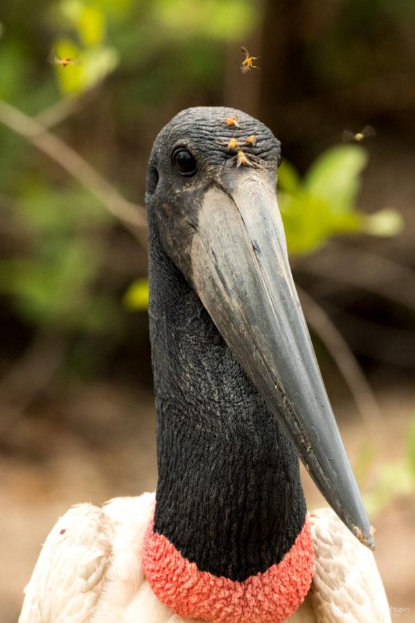 Pantanal-7165