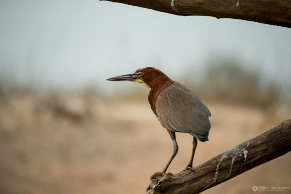 Pantanal-7726