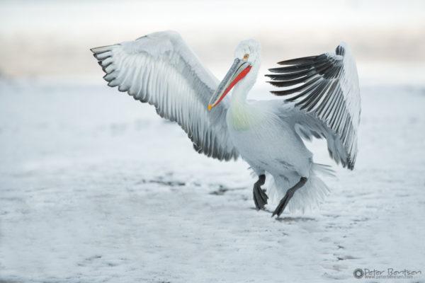 Pelikaner-2