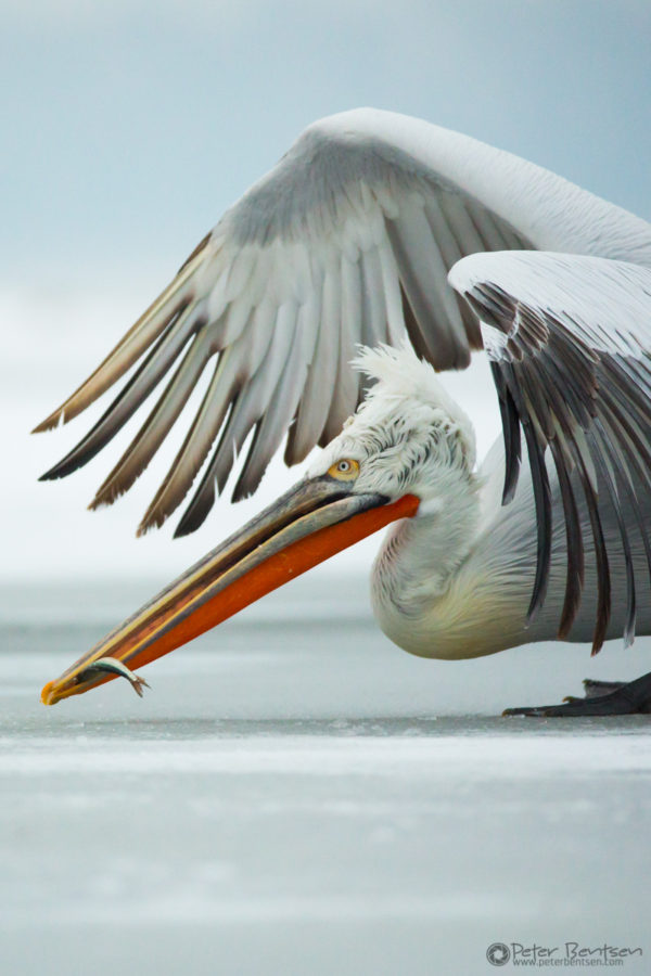 Pelikaner-4700