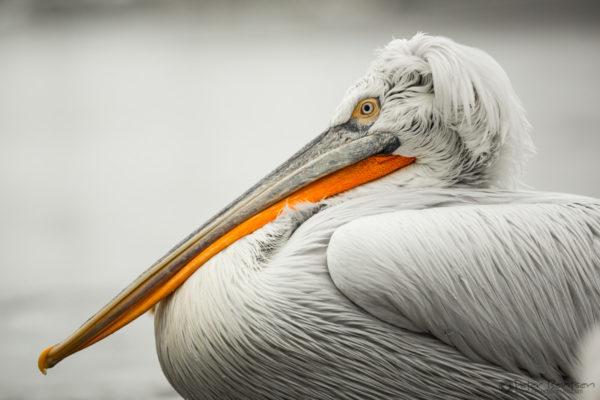 Pelikaner-5375