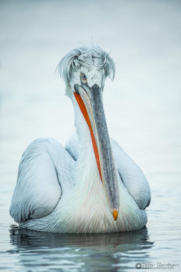 Pelikaner-5818
